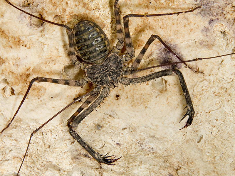 Tailless Whip Scorpions