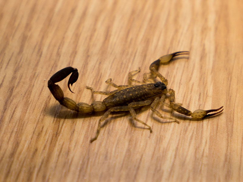 Scorpion in the House