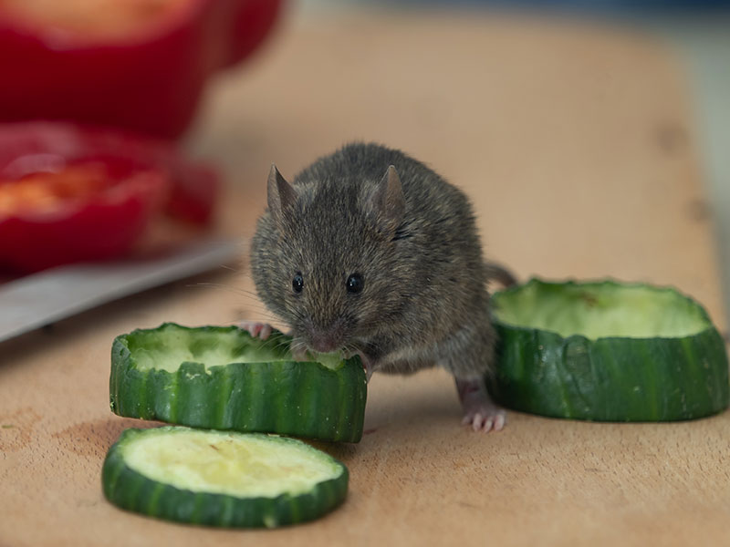 House Mouse in the Kitchen